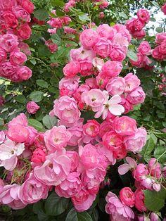 shrub rose