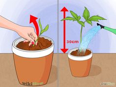 Grow a Sunflower in a Pot Step: After germination, thin out the weaker seedling of each pair and remove any diseased or malformed seedlings. If space is an issue, move to additional containers but remember that sunflowers don't thrive on being transplanted. Keep watering as before until each sunflower is about a foot (30cm) tall, at which time you should double the amount of water they have been receiving.