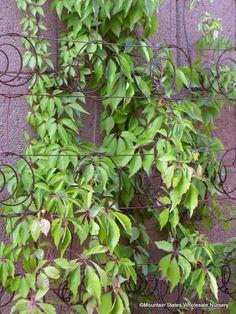 Parthenocissus x Hacienda Creepe