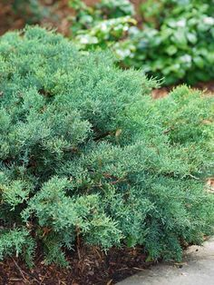 Precious Tips for Outdoor Gardens In general, almost half of the houses in the world… Flowering Shrubs, Trees And Shrubs, Evergreen Groundcover, Landscaping With Boulders, Dwarf Shrubs, Small Patio Design, Paradise Plant, Drought Tolerant Landscape, Heuchera