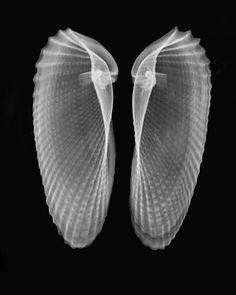 Description: This is a negative B + W iX-ray of  a pair of clam shells (Cyrtopleura costata)                © Bert Myers        From the X-ray marine life albumThis album will include X-rays of seashells, coral and other objwct found in water, both fresh and salt.  Category: Radiology Art