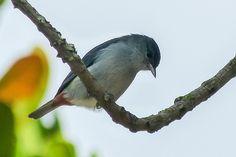 Foto figuinha-de-rabo-castanho (Conirostrum speciosum) por Fábio Rocha Pina | Wiki Aves - A Enciclopédia das Aves do Brasil