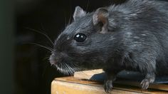 ICYMI: Descubren una especie de rata gigante que vive en los árboles y roe cocos (FOTO)