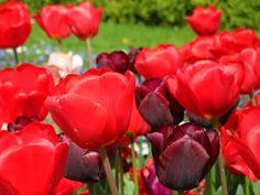 """Rote Tulpen verzaubern """"Die Wandler"""" und rauben ihnen den Verstand! Und was denkt Ihr? http://www.christina-dabrowski.com/#!blog/c1ckt"""