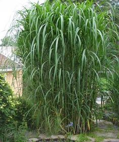 Miscanthus Giganteus huge herbaceous bamboo like grass great screen exotic big 2 litre pot, Garden Villa, Cottage Garden Plants, Evergreen Landscape, Beach Landscape, Ornamental Grasses, Container Gardening, Exotic, Backyard, Outdoor