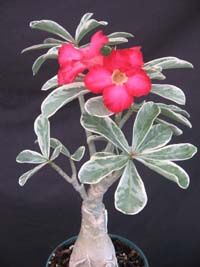 A classic caudiciform with a succulent habit. Easy to grow potted plant that forms a fat swollen trunk and produces several prominent bell shaped pink flowers all year long. Perfect for water conserving gardens as it is drought resistant. Can be a houseplant if grown by a window, but prefers to be outdoors in full to partial sun. Avoid freezing temperatures. Leaves do drop in the winter time and sprout back in the spring time. Original Desert roses (Adenium obesum) have pink flowers. Edible Flowers, Pink Flowers, Winter Time, Spring Time, Weed Plants, Drought Resistant Plants, Variegated Plants, Desert Plants, Desert Rose