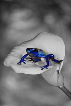 blue frog on white calla lilly