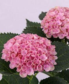 Hortensia 'Magical® Revolution Pink' (Hydrangea macrophylla) gör rättvisa åt sitt namn. Med sin magiska färgställning blir den verkligen en revolution i din trädgård! Ju längre blommandet fortskrider desto mer spektakulära blir färgerna! Från en rosa nyans till rött och grönt och i slutstadiet blir blommorna. Tack vare den långa blomningsperioden kan du njuta i månader av detta fantastiska blickfång. Inte bara i trädgården eller på terrassen, utan också i vas som snittblomma.