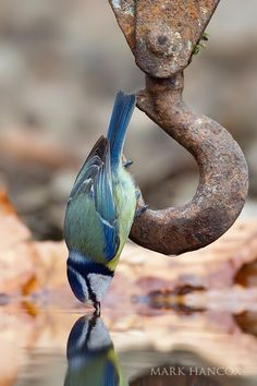 Blue Tit Perched on Pulley to Drink from a Pool of Water, 2010 / Mark Hancox Bird Photography Pretty Birds, Love Birds, Beautiful Birds, Animals Beautiful, Cute Animals, Blue Tit, Tier Fotos, All Gods Creatures, Bird Watching