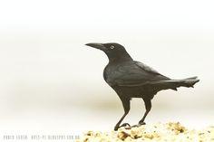 mis fotos de aves: Quiscalus mexicanus Zanate Mayor Great-tailed Grac...