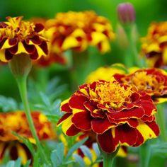 Toto ste o aksamietniciach určite nevedeli: Nenáročné letničky majú liečivé účinky | 11 Plants, Gardening, Women's Fashion, Daisies, Fashion Women, Lawn And Garden, Womens Fashion, Plant