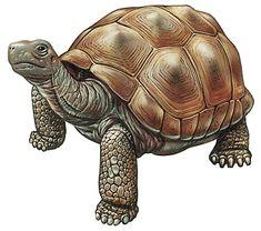 Land Turtles, or Tortoises - HowStuffWorks Sulcata Tortoise, Giant Tortoise, Tortoise Turtle, Tortoise Care, Cute Turtle Cartoon, Kawaii Turtle, Sea Turtle Art, Turtle Love, Tortoise Tattoo