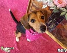 Molly is not crazy about sharing her space with other dogs. So what's so big about that? Some of us want to fly solo in this life. Gotta love a Beagle . Small Dog Breeds, Small Breed, Rescue Dogs, Animal Rescue, Beagle Colors, Hound Breeds, Skye Terrier, Bassett Hound, Akron Ohio