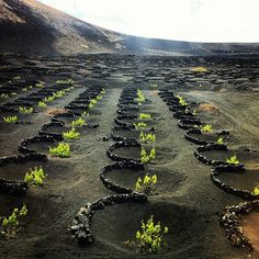 The volcanic vineyards of La Geria, Lanzarote, Canary islands, Spain. Planted in superdry volcanic ash from the eruption of Timanfaya volcano during 1730-1736;