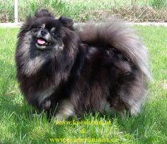 """Pomeranian - Vrh """"V"""" Karamit Nova"""