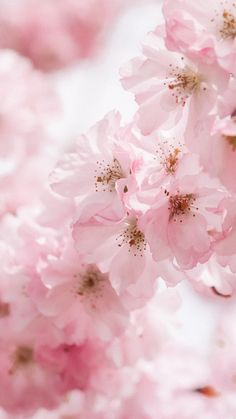 A cherry blossom wallpaper you can use to brighten up your phone. Spring Aesthetic, Peach Aesthetic, Nature Aesthetic, Flower Aesthetic, Blossom Trees, Blossom Flower, Blossoms, Frühling Wallpaper, Flower Wallpaper