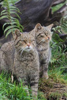❧ Wild cats - Les félins ❧ Scottish wild cats