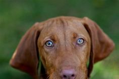 These dogs have blue eyes when they're pups and they turn a beautiful green color when they get older. I used to have one named Koo-Koo <3