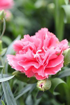 Garofano rosa, o dianthus