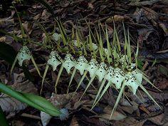 Brassia Rex 'sakata' 1