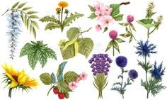 Watercolor herbal set of wildflower honey plants and flowers. Hand drawn botanical herbal collection of apple tree, linden,. Illustration about clipart, buckwheat, botanical - 181640395 Tree Illustration, Apple Tree, Cactus Plants, Wild Flowers, Planting Flowers, Herbalism, How To Draw Hands, Honey, Clip Art