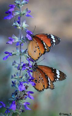 a pair of butterflies on salvia