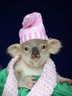 186479 03bc1b42 f6a7 11e3 ba3b 878da0800edb Un koala orphelin sauvé de justesse par une australienne