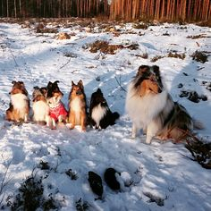 Collie keeping all the Shelties in line