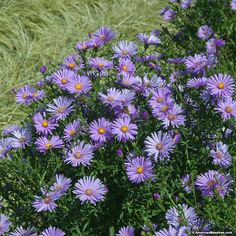 Aster New York also known as Purple Aster blooms clusters of deep purple daisy like flowers. This native aster attracts all types of butterflies, birds, and bees to your garden. Purple Aster  is deer resistant and thrives in full sun.  Enjoy blooms in late summer and early fall.