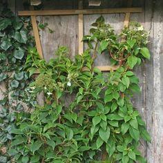 Vivaces d 39 ombres on pinterest geraniums cubs and culture for Rosier grimpant pour mi ombre