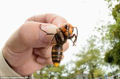 Sting in the tail? Experts fear millions of two-inch-long Asian hornets (above) could be h...