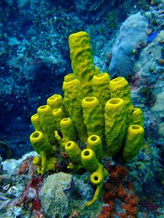Break a sponge in half, and two grow. More than a colony, less vulnerable than a tissue-based creature. Tube Sponge (Aplysina fistularis).