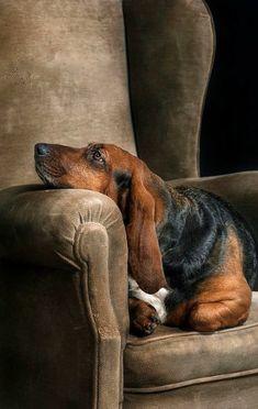 Basset Hound Spaniel Terrier Dog Photography Puppy Hounds Chien Puppies Pup