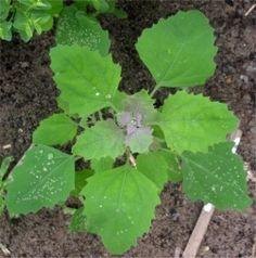 Le chénopode développe parfois une teinte de violet sur les feuilles de sa tête
