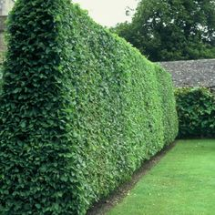 Easy Desert Landscaping Tips That Will Help You Design A Beautiful Yard Privet Hedge, Hornbeam Hedge, Hedging Plants, Shrubs, Privacy Landscaping, Backyard Privacy, Backyard Landscaping, Landscaping Ideas, Florida Landscaping