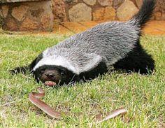 Filhote de Ratel VS Cobra.jpg (468×364)