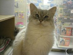 Meet Snowflake, a Petfinder adoptable Siamese Cat | Logan, UT | This gorgeous girl, Snowflake, had five kittens two days after she came to Four Paws. Her kittens...