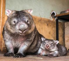 """""""Say cheese!"""" 📸 Mama Bear and Yogi Bear are just a couple of the residents at Sleepy Burrows Wombat Sanctuary, NSW #wombat population"""