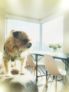 2chainz every day he's brusseling #brusselsgriffon #brussels xo