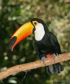 Toco Toucan Tropical Birds, Exotic Birds, Toco Toucan, Beautiful Birds, Habitats, Parrot, Paper Mache, Nature, Stool
