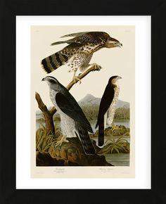 John James Audubon ~ Havik en Stanley-havik (no. ~ In 'Birds of America' ~ 1830 ~ Kleurendruk ~ The Metropolitan Museum of Art, New York Audubon Prints, Audubon Birds, Bird Illustration, Illustrations, Northern Goshawk, Birds Of America, John James Audubon, Vintage Birds, Gravure