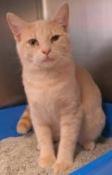Fiesty is an adoptable Domestic Short Hair - Buff Cat in Henderson, KY. I am ready for my new home! Please come save me today! My adoption fee includes ALL of the following: Spay/Neuter, Microchip I.D...
