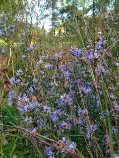 Sky Blue Aster (Aster oolentangiense) blooms early fall. Height: 2.5 ft. Full sun to part shade.
