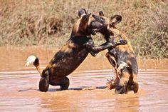 Wild dogs in the river at Loisaba Wilderness, Laikipia, Kenya.  June 2011  www.loisaba.com