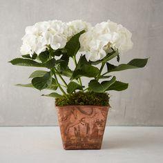White Hydrangea, Copper Pot in Garden Plants, Flowers, Grow Kits at Terrain