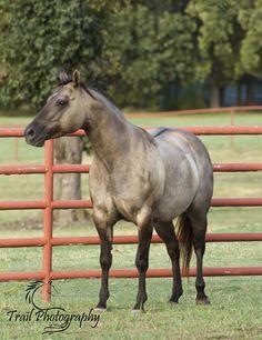 https://flic.kr/p/M1sCgG | Grulla Quarter Horse (Sage) | Trail Photography ©…