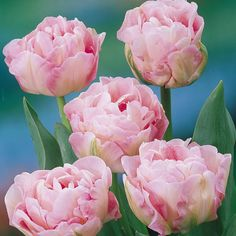 All Flowers, Spring Flowers, Beautiful Flowers, Wedding Flowers, Tulip Bouquet, Tulip Bulbs, Pink Petals, Fall Plants, Pink Tulips