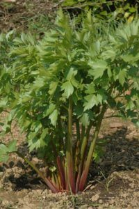 Lovage is near the top of the list of naturally occurring sources of quercetin (an anti-inflammatory, anti-oxidant and anti-cancer agent), just behind tea, red onions and capers Plants, Edible Plants, Herbs, Perennials, Growing Herbs, Herb Garden, Edible Garden, Garden, Types Of Herbs