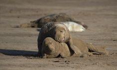North Atlantic grey seals. - North Atlantic grey seals mating.