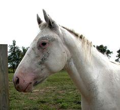 Appaloosa stallion Imnaha's Snoweagle